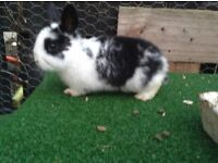 One adorable baby rabbit for sale!
