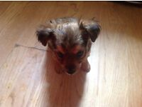 CHORKIE CROSS JACK RUSSELL PUPPIES FOR SALE RE ADVERTISED DUE TO TIME WASTERS