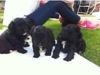 Shi poo Puppies