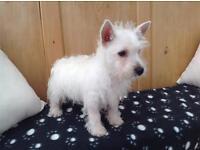 Girl westie puppies for Sale!