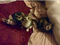 3 little Bengal X kittens for sale