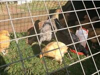 Pullets forsale collection only torquay