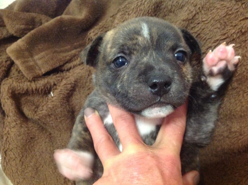 Staffy Puppies For Sal...