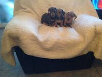 Smooth Haired Miniature Dachshund Pups