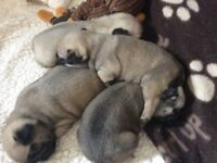 Pug puppies, 1 male 1 female, ready now, KC registered