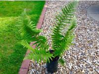 Fern plant £2.50