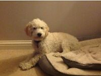 Miniature Labradoodle (Sleaford, Lincolnshire)