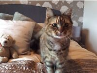 Missing from home fluffy house cat tortishell with white patch under chin