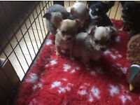 KCReg Long Coat Chihuahua Puppies