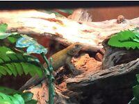 Emerald swifts(green spiny lizards)