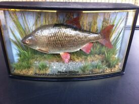 Stuffed Roach in Front Bowed Case 3lbs 9ozs From Pitsford Reservoir 1996
