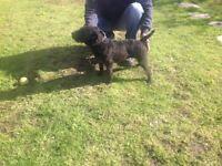 Black Lakeland terrier bitch for sale