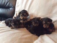 Yorkshire terrier pups for sale