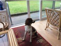 Springer spaniel ( Bitch) 11 months, dog kennel n,Ireland