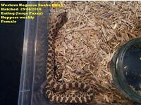 Western Hognose Snakes Captive Bred