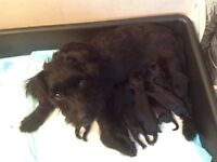 Patterdales puppies,,good strong blood line,,