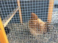 3 female bantams free with coop