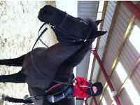 Sharer wanted for 15hh WelshXthoroughbred Mare, 27yrs Young