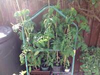 Large Tomato Plants Gardeners Delight
