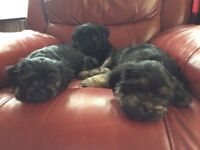 Lhasa apso three girl puppies ready to go to new homes now