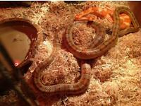 Corn snakes and vivarium