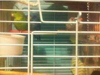 Pair of Parakeets and finches with cage and accessories