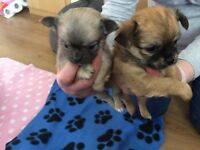four stunning chihuahua puppies