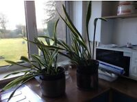 Sansevieria Trifasciata - Mother in law's tongue