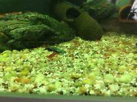Red tropical shrimps