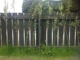 TREES WILLOW TREE CUTTINGS / BUSHES / SHOOTS . 4 FEET IN LENGTH READY FOR PLANTING.