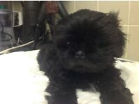 Beautiful Shih Tzu 3/4 imperial ready now for new mummy and daddy 1 girl TINY 1 boy Chucky