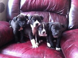 Male alapaha x American bully puppies