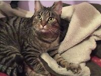 Lost Tabby Cat in Reigate. Poppy is microchipped and missing since Thursday 19th