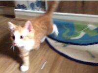 Kitten - Gorgeous, Cheeky ginger little girl for sale