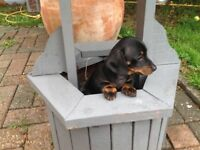 Mini dachaund pups only 2 boys left Black and Tan and one choclate and tan
