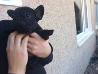 READY NOW gorgeous French bulldog puppies for sale