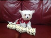 Maltese chihuahua puppy maltichi gorgeous small dog fluffy non moulting adorable white