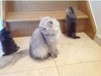 Beautiful 3 cats for sale