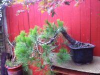 Semi Cascade Scot Pine Bonsai
