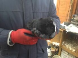 Female Guinea pigs for sale in Dereham, various colours and ages.