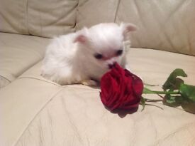 Beautiful white girl s chihuahua puppies for sale