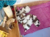 Shihtzu puppies ready soon to go to forever homes