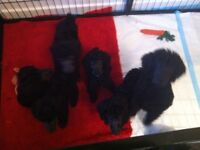 Poodle standard puppies good home only need apply
