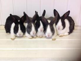 Baby Dutch Rabbits ready now