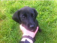 Springer spaniel cross Labrador