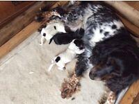 Cocker spaniel puppies KC Registered
