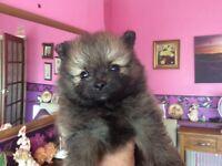 Adorable pom pups not kc reg,pet homes only.