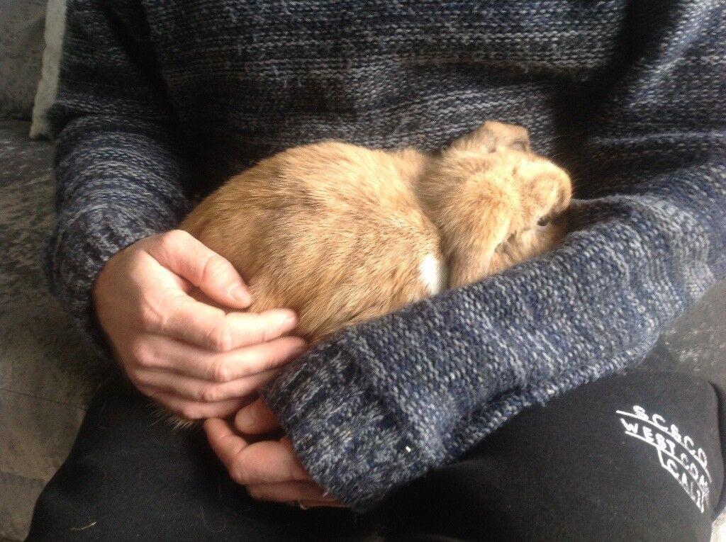 Mini lop doe rabbit.