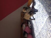 Patterdale pups ready now