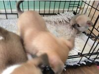 3 gorgeous chihuahua puppies for sale